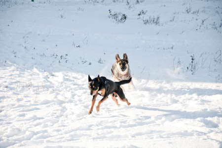 beautiful cute black and brown dogs pet friends terrier and shepherd outdoor in sunny winter outdoor running playing on white snow on natural background Stock Photo