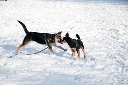 pincher: beautiful cute black and brown dogs pet friends terrier and shepherd outdoor in sunny winter outdoor running playing on white snow on natural background Stock Photo