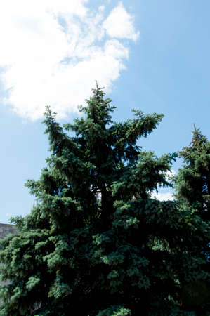 fir tree on blue sunny sky background. ecology. summer or winter