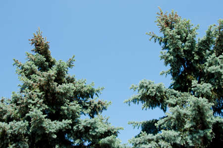 green pine tree top on blue sky, copy space. nature and environment conept with nobody Stock Photo - 103285897