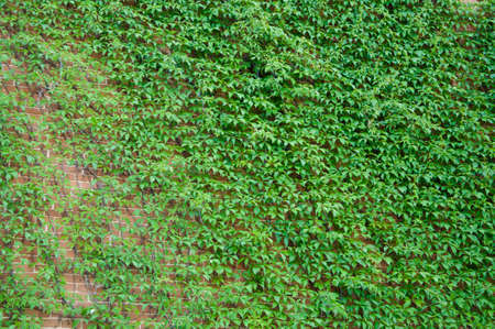 Architecture and nature. House building covered with ivy. Green ivy plant climbing brick wall. Old house exterior with climber. Vines growing on stone wall in summer. The best choice for masonry wall.