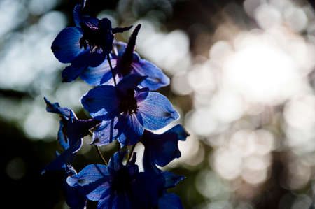 morning. larkspur flowerbed. spring bloom. nature environment, ecology. Delphinium flower candle. Delphinium flower blooming. summer garden. villatic holiday season. Flowers presentation.