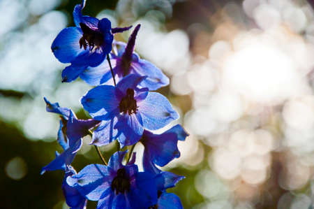 summer garden. villatic holiday season. Delphinium flower candle. spring bloom. nature environment, ecology. morning. larkspur flowerbed. Delphinium flower blooming. copy space. florist at work.