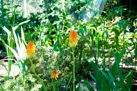 Flowers expert. Kniphophia also called tritoma. spring. nature and environment. Kniphofia flower. villatic holiday season, suburban. watering summer garden. water for flower of knofofiya flowerbed.