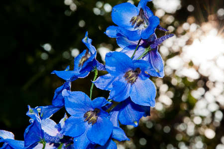 larkspur flowerbed. Delphinium flower candle. summer garden. villatic holiday season. spring bloom. nature environment, ecology. Delphinium flower blooming. I love flowers. Stock Photo