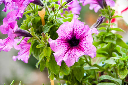 Petunia in the garden. plant grow in greenhouse. flower in a pot. environment ecology concept. Floral background of blooming petunias. eco garden. flowers in the garden. Closeup Petunia flowers.