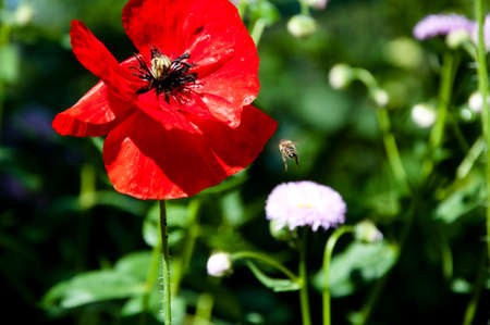 Summer and spring. spring is coming. bright red poppy flower. red poppy flower. summer nature beauty. Anzac Day. poppy seeds to relieve pain. Poppy. symbol of International Day of Remembrance.