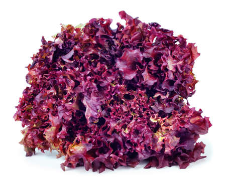 sheaf: sheaf of purple lettuce Lollo Rosso isolate. Fresh vegetable salad Lollo Rosso