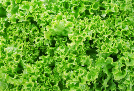 Lettuce salad fragment. Abstract background. The background of the lettuce. Vegetable background Stock Photo