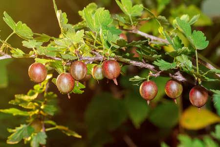 oncept: Fresh red gooseberries on a branch of gooseberry bush with sunlight. Gooseberry in the fruit garden. Gooseberry. Fresh and ripe organic gooseberries growing in the garden. Concept my garden