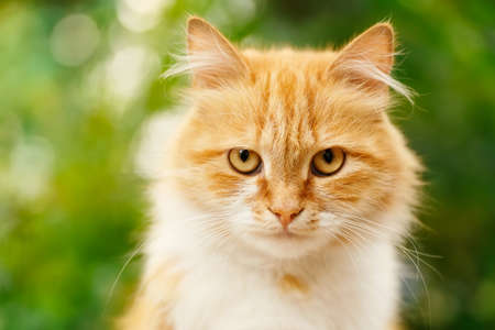 ginger cat: Portrait of beautiful ginger cat in the garden. Red cat. Red-headed cat. Portrait of looking ginger cat. Beautiful red cat with yellow eyes