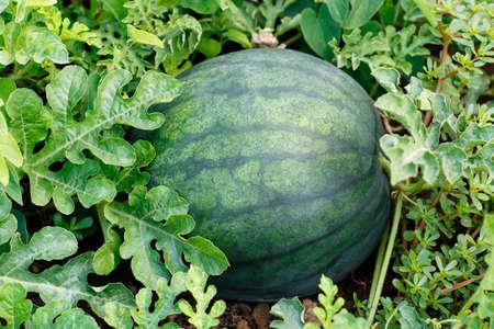 melon field: melon field with ripe watermelon. Watermelon in vegetable garden. Watermelon. Watermelon farm