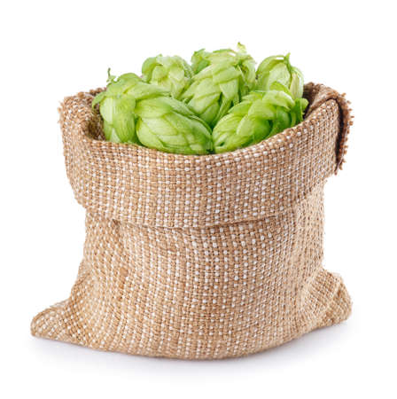 Fresh green hops in burlap bag isolated on white background. Hop cones isolated on white. Hop for beer in burlap bag. Sack of fresh hops isolated on a white background.