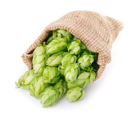 Verse groene hop verspreid uit de jute zak op een witte achtergrond. Hopbellen op wit wordt geïsoleerd. Hop voor bier in jute zak. Zak van verse hop die op een witte achtergrond.