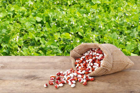 haricot: pinto beans in burlap bag. Dry kidney beans in burlap sack scattered on table with green blooming field on the background. Agriculture concept. Photo with copy space area for a text Stock Photo