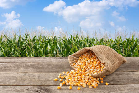 dry uncooked corn grains in burlap bag on wooden table with green field on the background. Agriculture and harvest concept. Maize with maize field background