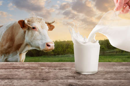 Milk from jug pouring into glass with splashes on table with cow on the meadow in the background. Glass of milk. Closeup of cow muzzle look at the camera. Pouring milk. Splashes of milk from the glass