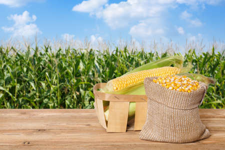 fresh corn cobs in basket
