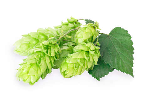 branch of fresh green hops