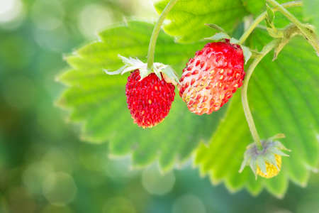 woodland strawberries on the bush