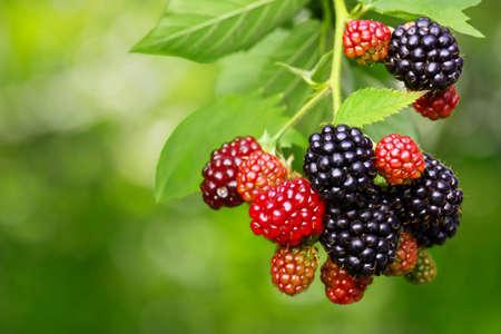 Blackberry bush with selective focus Stok Fotoğraf