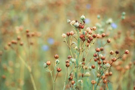 reife Leinsamenpflanzen