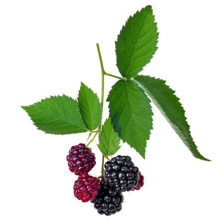 branch of blackberries isolated on white