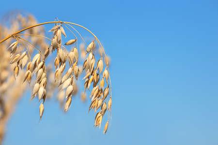 ripe oat plant