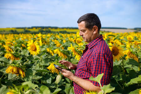 farmer in sunflower field Archivio Fotografico