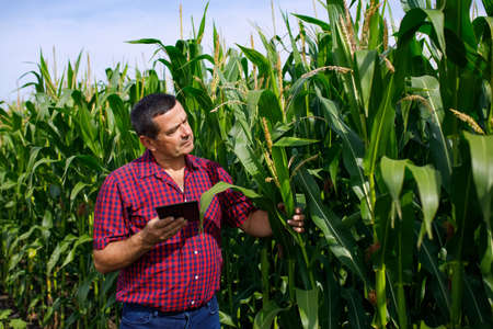 Farmer analyzing corn field