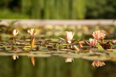 Beautiful pond lily reflections with frog photo