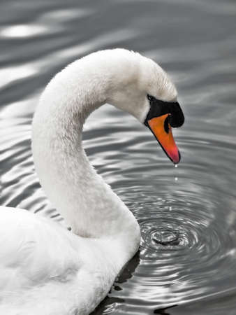 arched neck: Swan of the silver lake