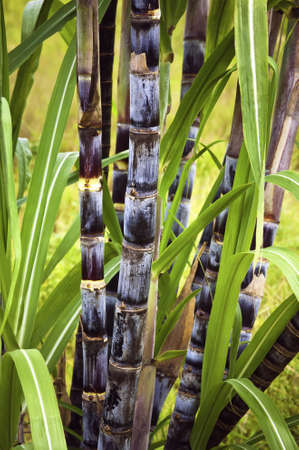 Sugar cane plant  photo