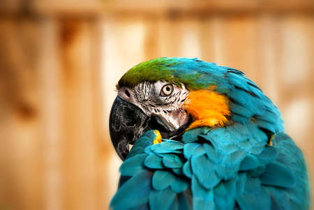 Beautiful Blue and Gold Macaw - Parrot Portrait  photo