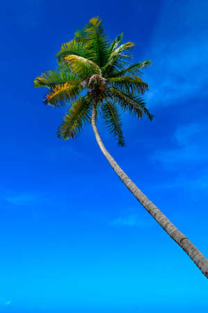Tropical climate  Palm tree and blue sky  photo
