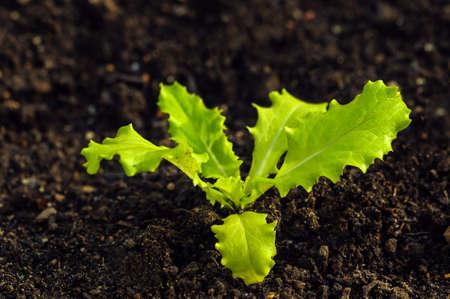 lactuca sativa: Lactuca Sativa - Lettuces plant Cultivation