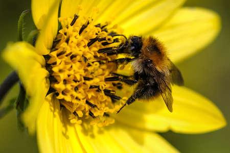 extracting: Honey Bee - extracting pollen  Stock Photo