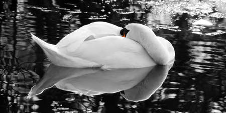 arched neck: Swan of the silver lake - Portrait
