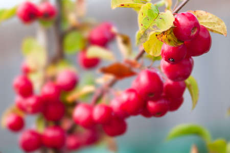 crabapple: Crab-apple - Malus - Red sentinel Stock Photo