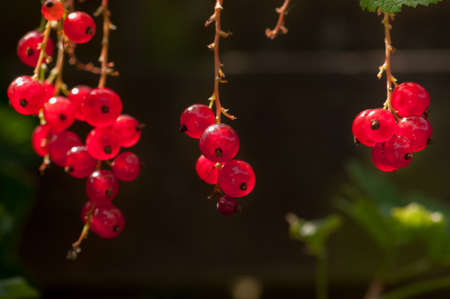 garden staff: Organic Red Currant fruit on the shrub close up Stock Photo