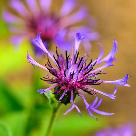 centaurea: Blue Cornflower centaurea cyanus Stock Photo