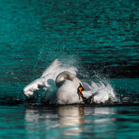 Wild swan taking a morning bath in the lake photo