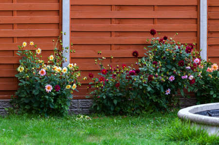 domestic garden: Domestic garden fence dahlia flower beds blossom colourful