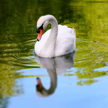 Single white swan in a lake reflective water square composition