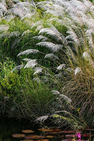 water feature: WHITE FEATHER PAMPAS GRASS PLUMES RELAXING POND TOBAGO NATURE