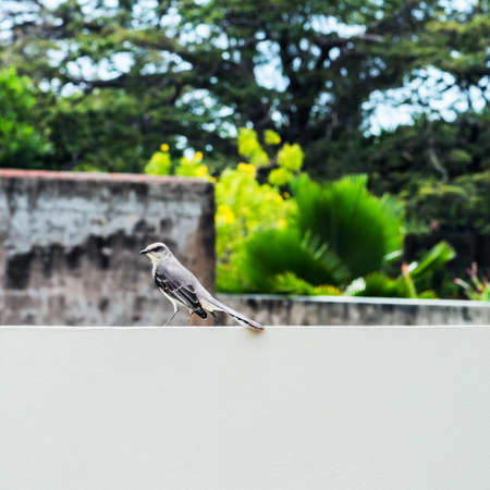 mocking: Tropical mocking bird resting on the wall square composition Stock Photo