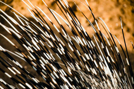 spines: Porcupine spines or quills closeup