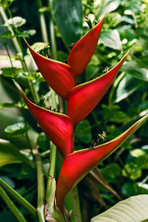 erect: Erect heliconia crab lobster claw tropical flower in the wild Tobago jungle