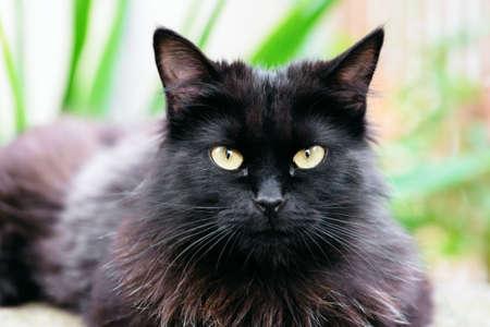 eyecontact: Beautiful Siberian black and brown cat closeup outdoors eye contact.