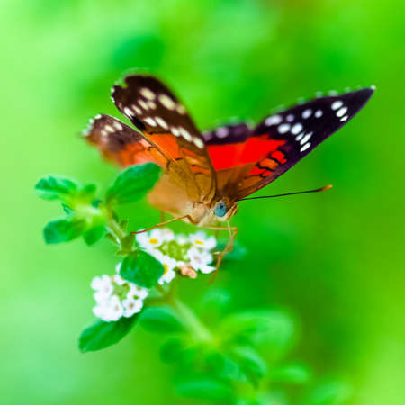 Scarlet Peacock anartia amathea buterfly green background square composition